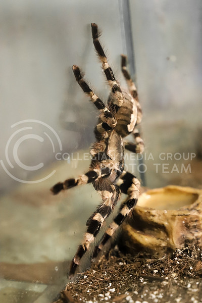 An Indian Ornamental Tarantula at the Insect Zoo. (Monica Melber | Collegian Media Group)
