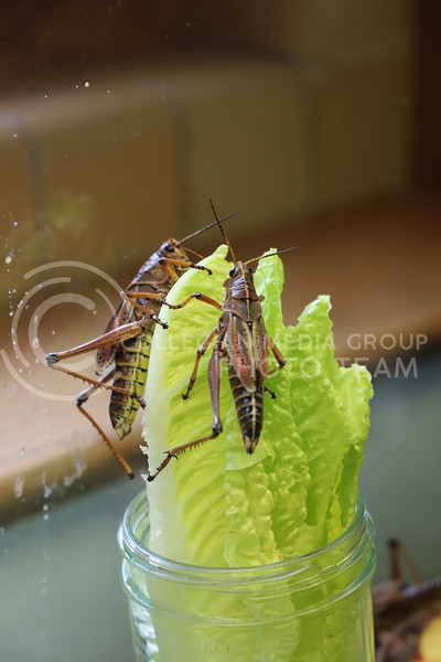 Some grasshoppers congregate to feed on lettuce as the Insect Zoo. (Monica Melber | Collegian Media Group)