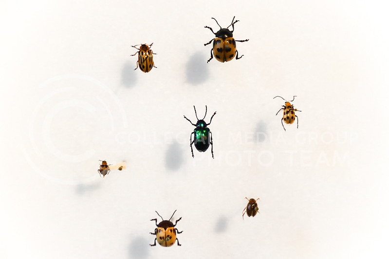 A wall display of beetles at the Insect Zoo. (Monica Melber | Collegian Media Group)