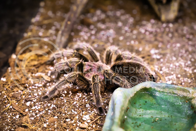 A tarantula sits still in its case at the Insect Zoo. (Monica Melber | Collegian Media Group)
