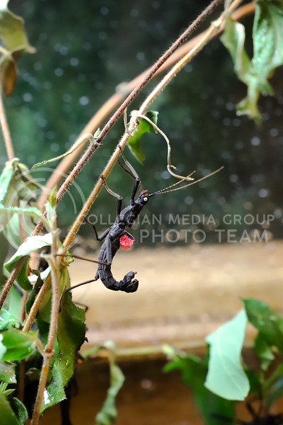 A display of Black Beauty Stick Insect at the Insect Zoo. (Monica Melber | Collegian Media Group)