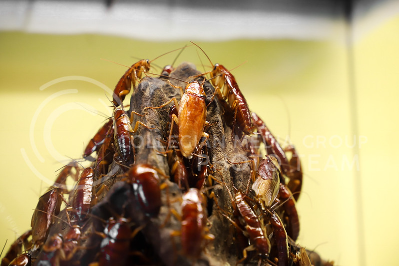 A mountain of cockroaches at the Insect Zoo. (Monica Melber | Collegian Media Group)