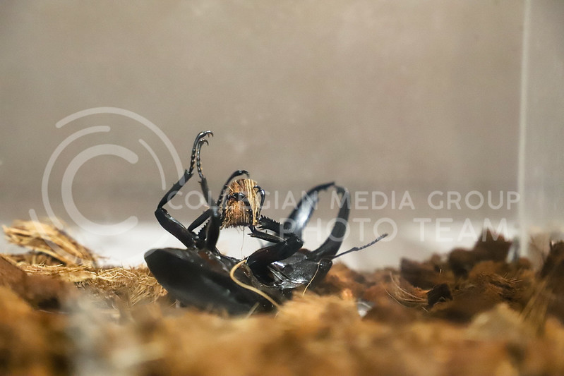 A beetle stuck on its back at the Insect Zoo. (Monica Melber | Collegian Media Group)