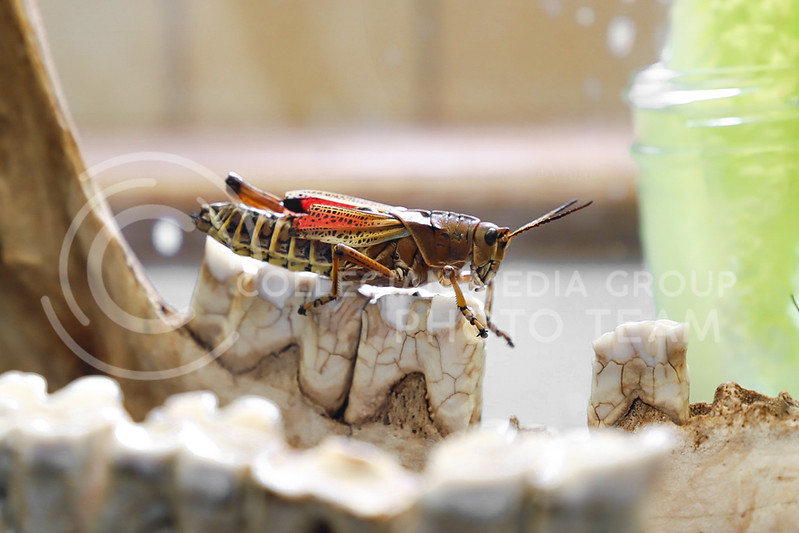 A grasshopper lounging on display at the Insect Zoo. (Monica Melber | Collegian Media Group)