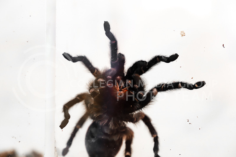 A tarantula at the Insect Zoo. (Monica Melber | Collegian Media Group)