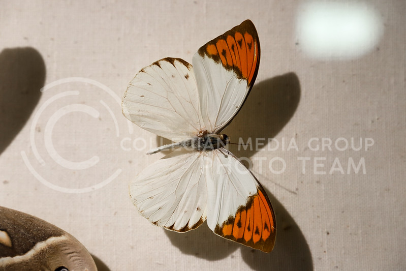 A great orange tip butterfly on display. (Monica Melber | Collegian Media Group)
