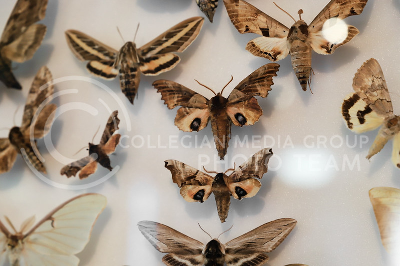 A wall display of moths at the Insect Zoo. (Monica Melber | Collegian Media Group)