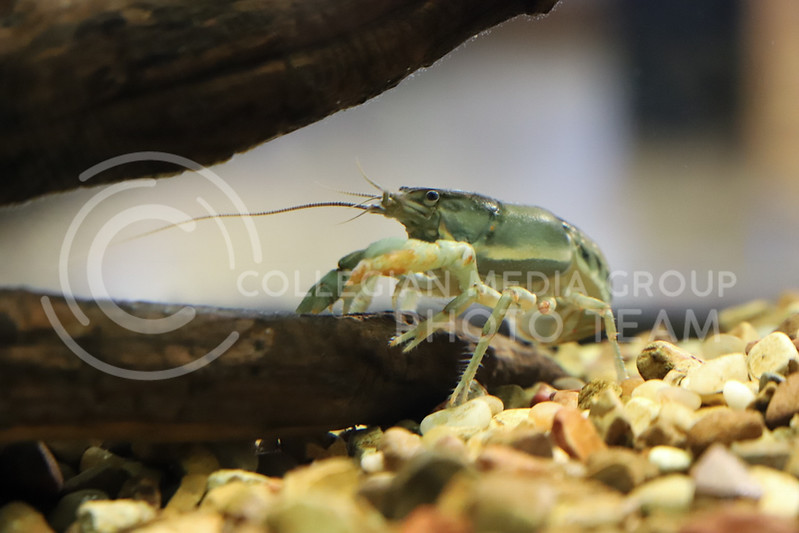 A crawfish in an aquarium at the Insect Zoo. (Monica Melber | Collegian Media Group)