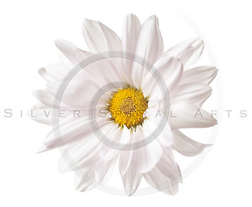 Daisy Flower White Yellow Daisies Floral Flowers Isolated