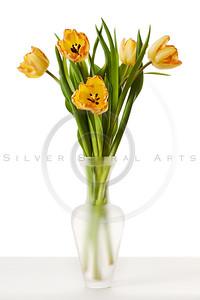 Tulips Yellow Red Orange Tulip Flowers Isolated White