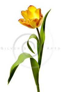 Tulips Yellow Red Orange Tulip Flowers Isolated White