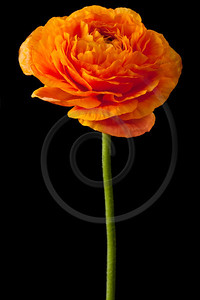 Orange Ranunculus Isolated on a Black Background