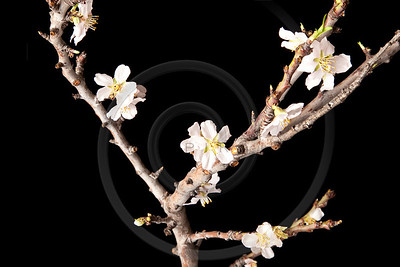 Blossoming Plum Branch Isolated on Black Background