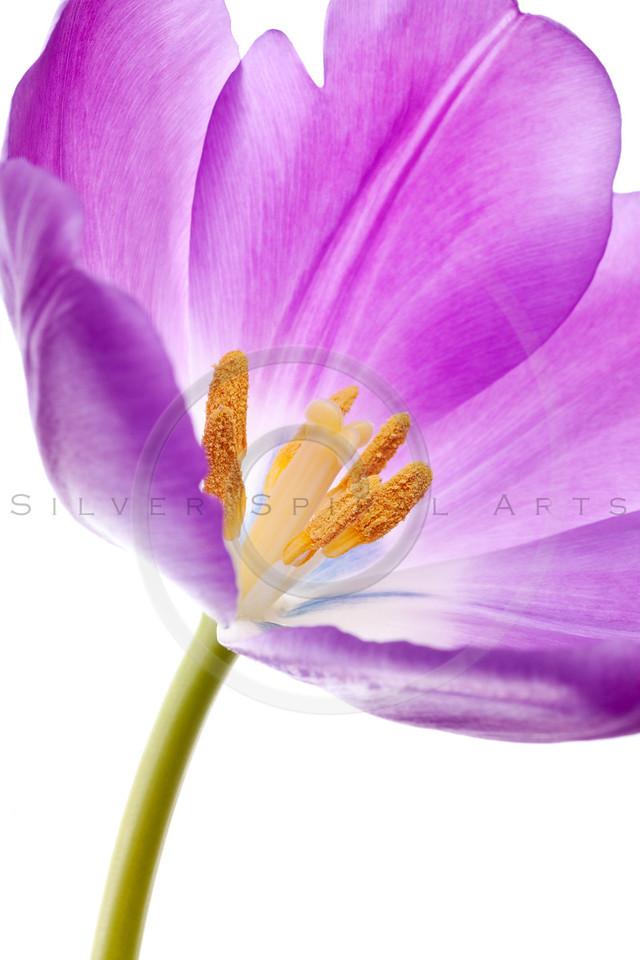 purple tulip isolated