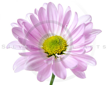 Daisy Flower Pink Yellow White Daisies Floral Flowers