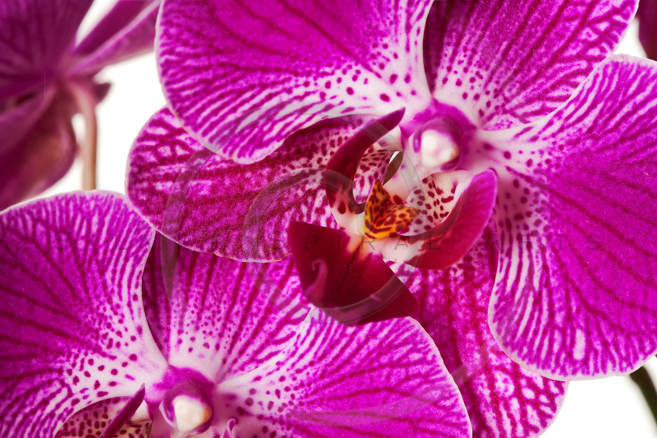 Purple Striped Dendrobium Orchid Blossoms