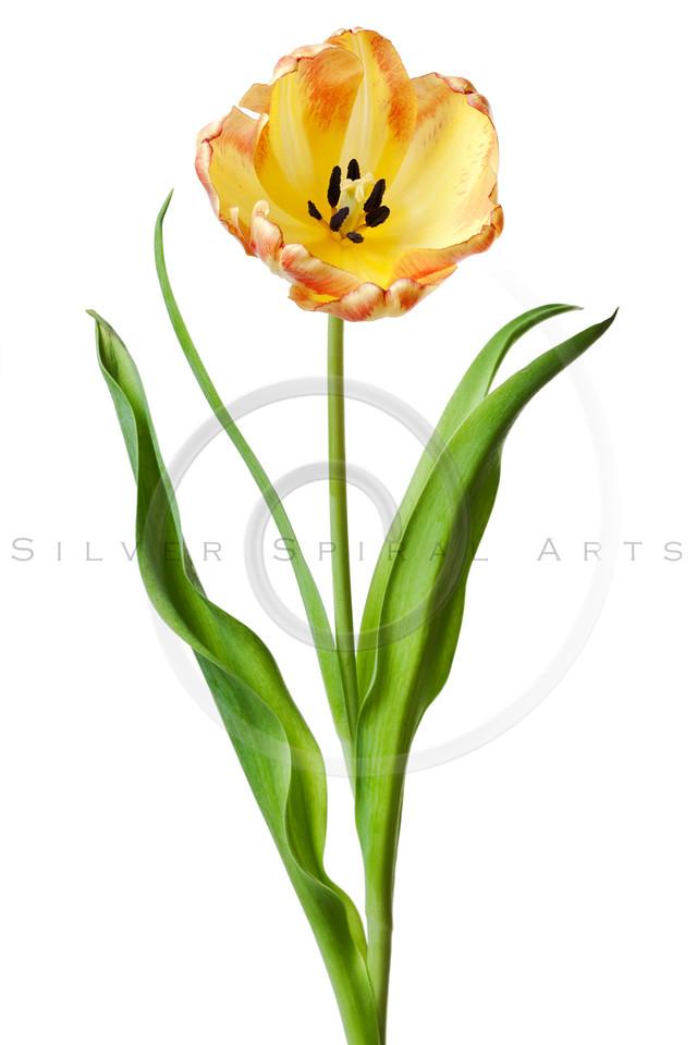 Tulip Flower Yellow Red Orange Tulips Flower Floral on White