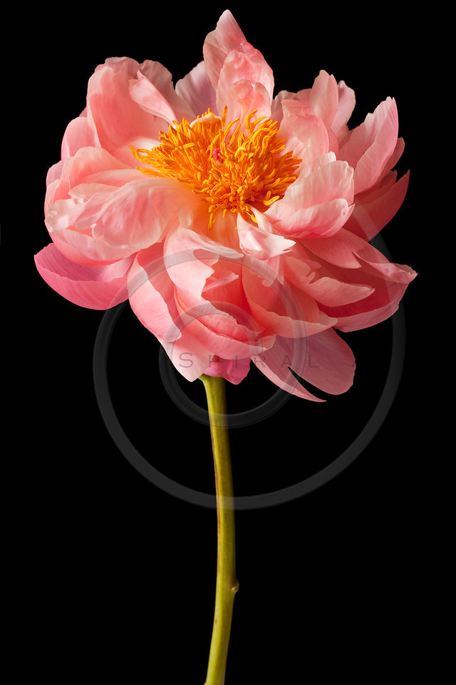 Peony Blossom isolated on a black background
