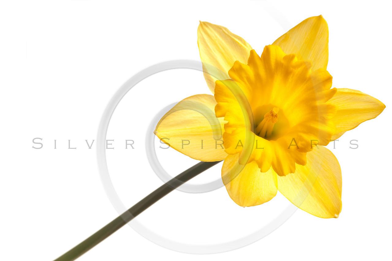 yellow daffodil isolated