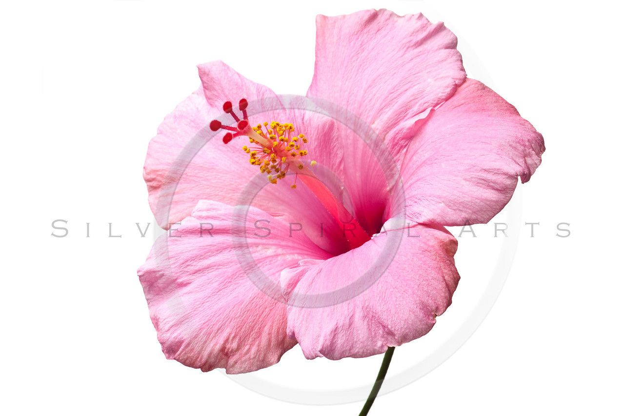 Pink hibiscus isolated