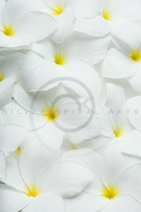 White Plumeria Frangipani Tropical Hawaiian Flowers Background