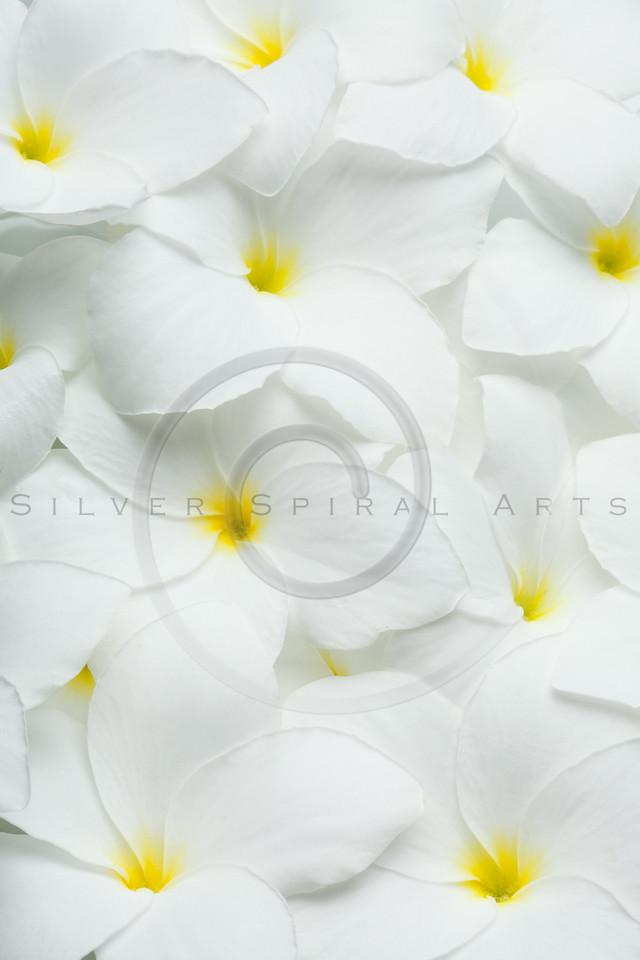 White Plumeria Frangipani Tropical Hawaiian Flowers Background