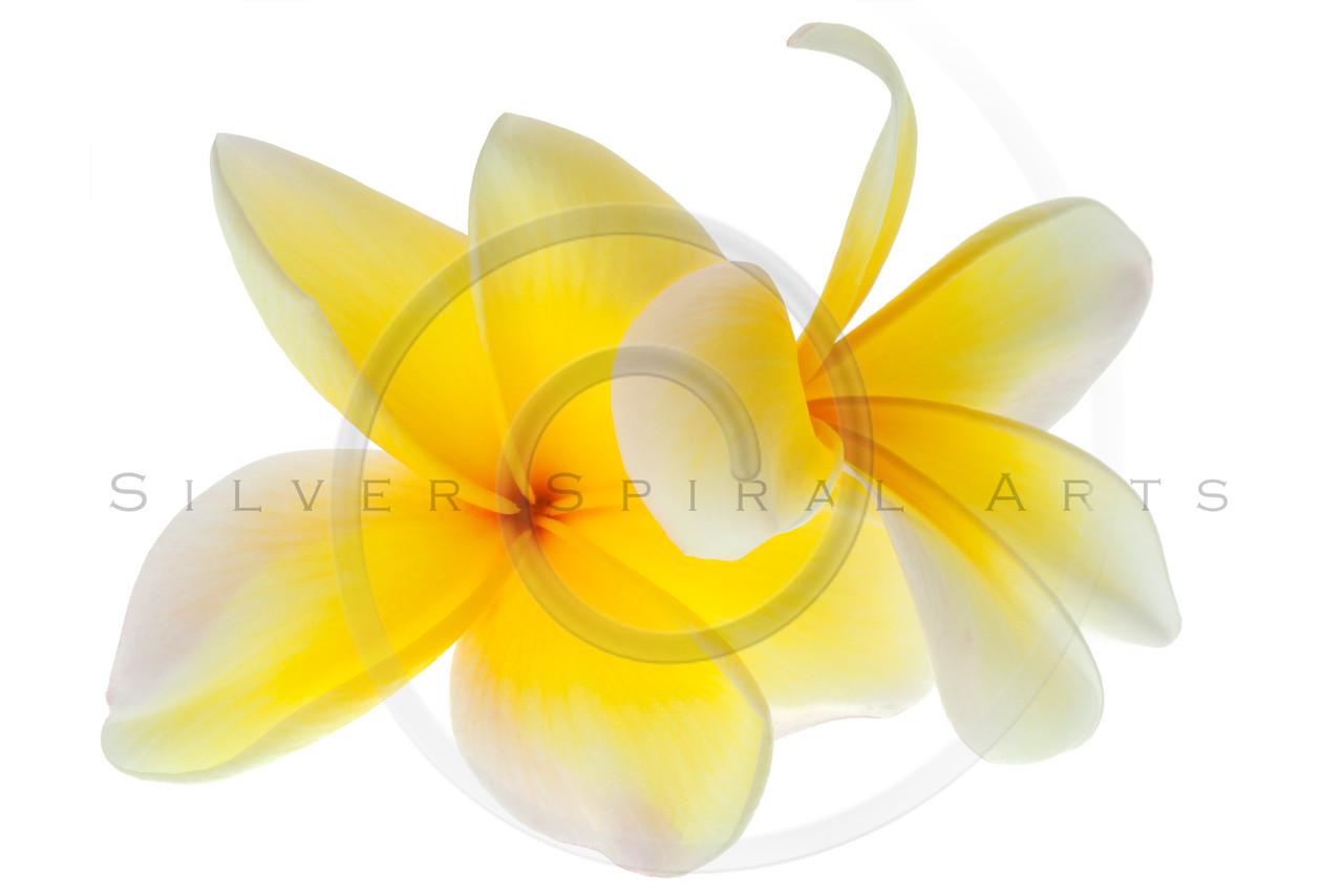 Plumeria Frangipani Flower Yellow White Tropical Flowers Isolated