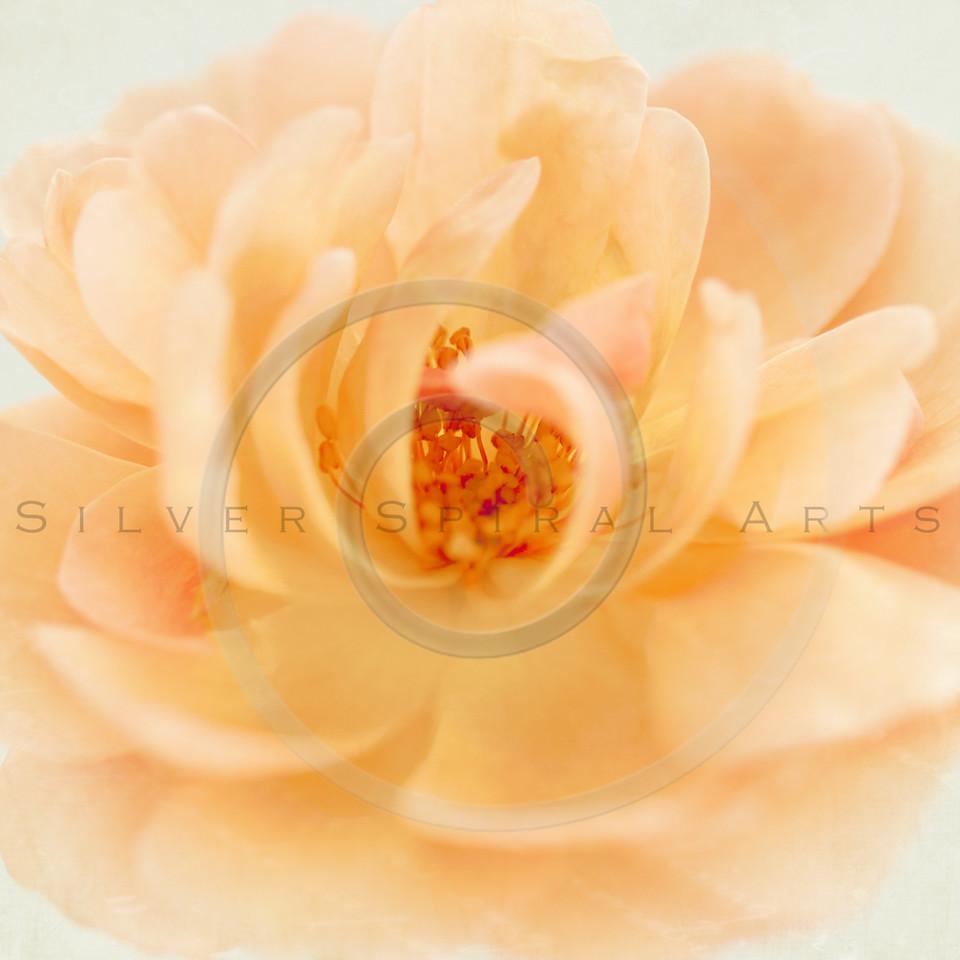 Wedding Peach Pink Garden Rose Flower