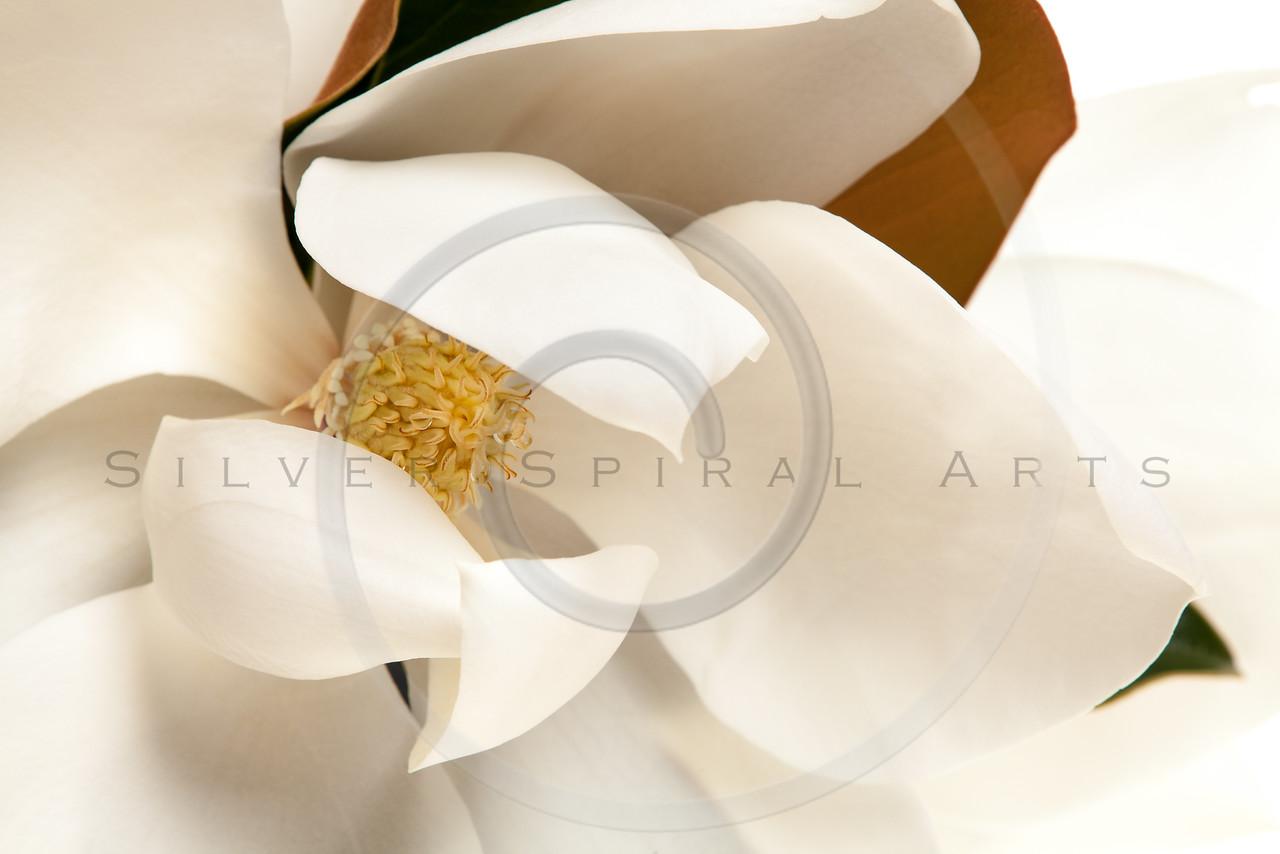 White Magnolia Flower Magnolias Floral