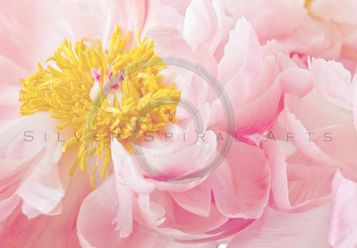 Light Pink Yellow Peony Flower Peonies High Key Floral
