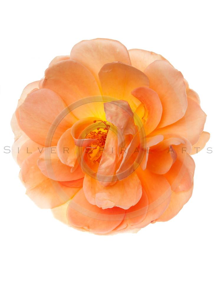 Peach  Wild Garden Rose Flower Isolated