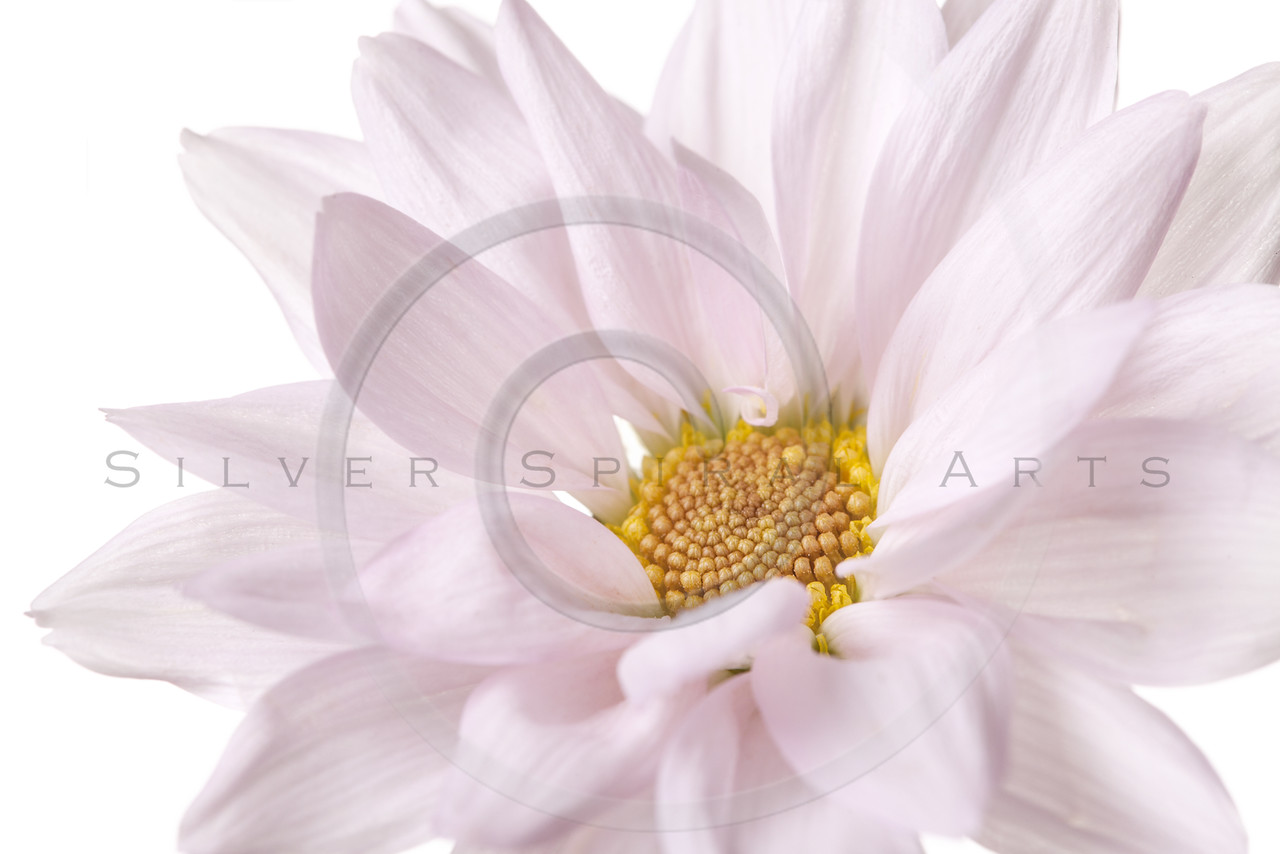 Pink Daisy Flowers White Yellow Daisies Floral