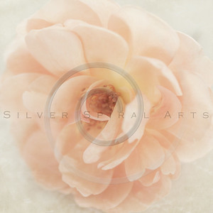 Wedding Peach pink garden rose flower on cream retro parchment paper background