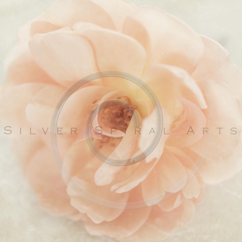 Wedding Peach pink garden rose flower on cream retro parchment paper background