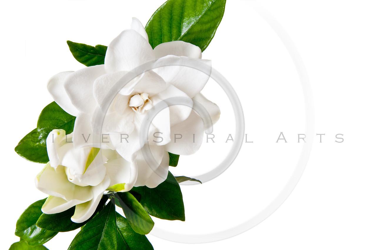 White Gardenia Blossom Isolated on White Background