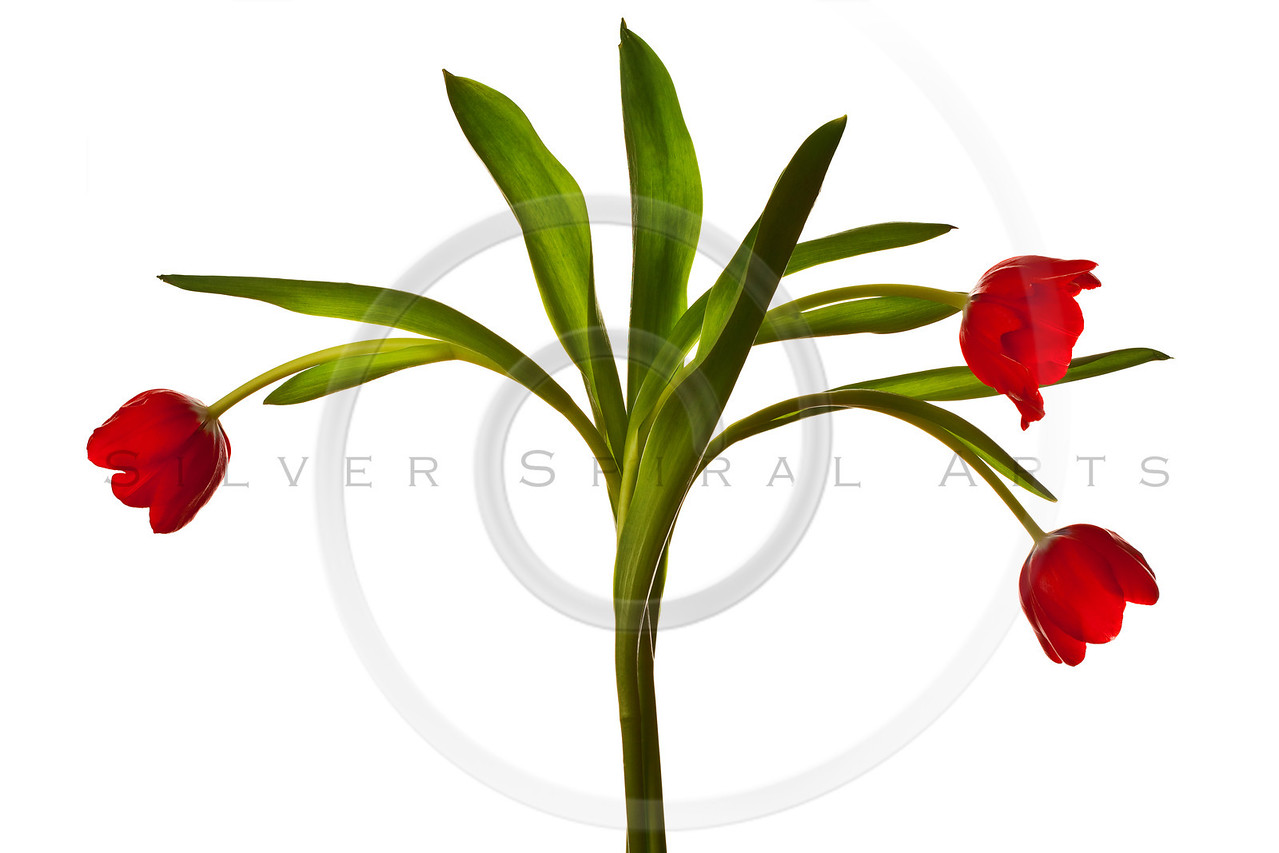 Dark Red Tulips Isolated on White Background