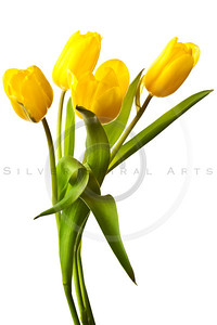 Yellow tulip isolated