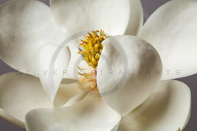Magnolia Flower White Magnolias Floral Tree Flowers