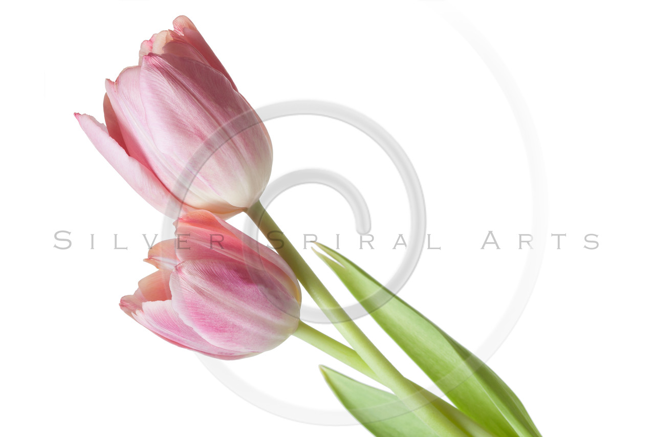 Tulip Flower Pink Salmon Red Tulips Flower Floral Isolated