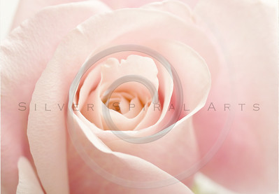 Light Pink Rose Flower High Key Floral