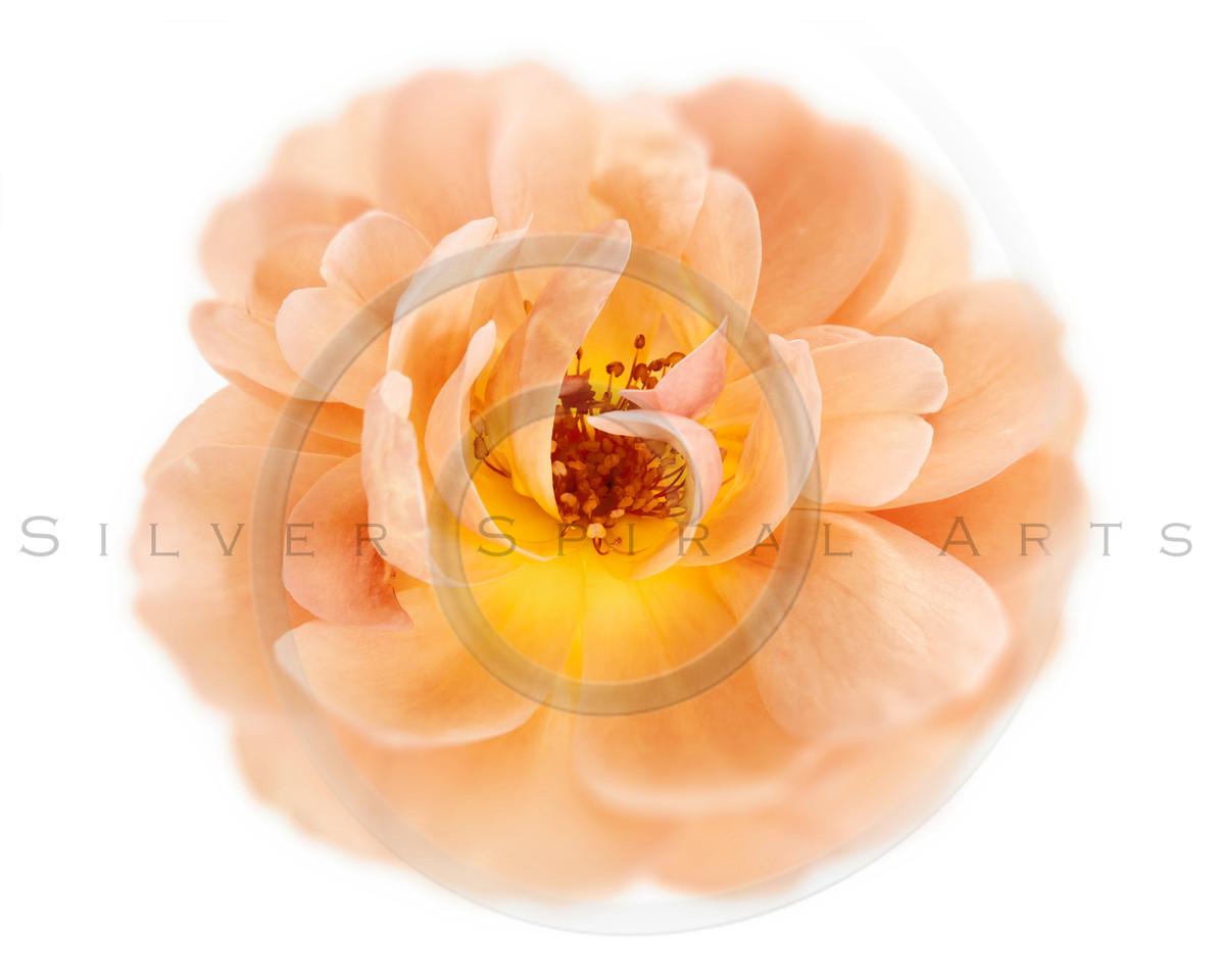 Peach Wild Garden Rose Isolated on White