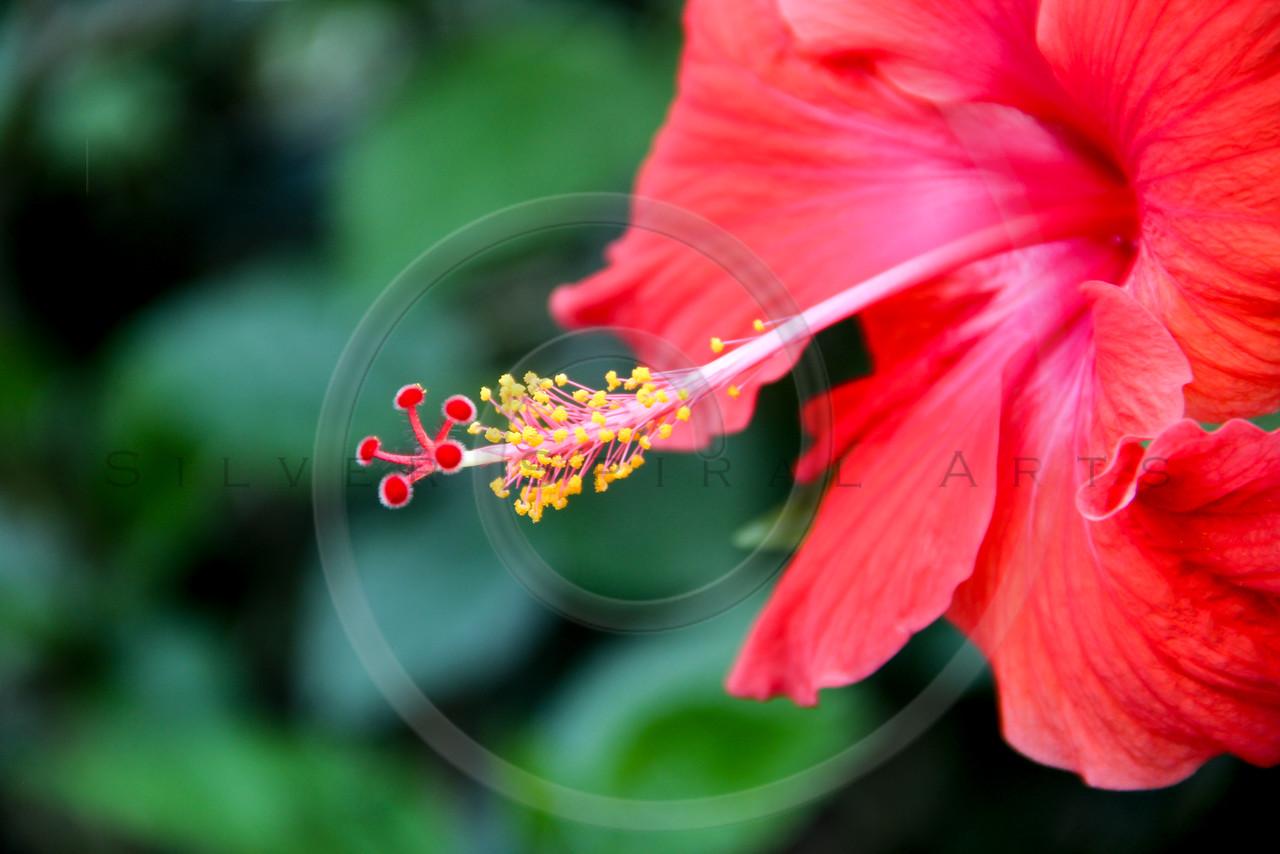 Pink Orange Hibiscus Tropical Flower Leaves Hawaiian Floral