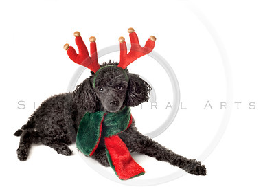 Ready to Pull the Sled!  Christmas Poodle on White.