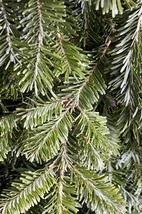 Christmas evergreen background