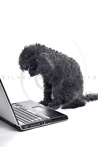 black toy poodle isolated on white background