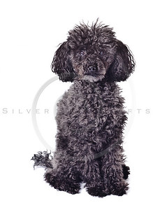 black poodle isolated