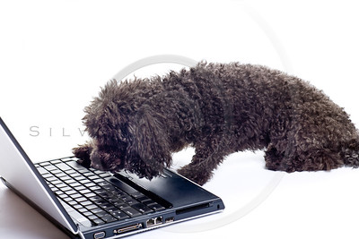 black toy poodle isolated