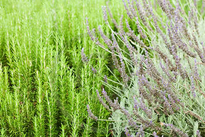 california garden perennials