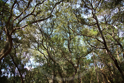 Florida oak trees