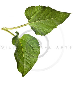 sunflower leaves isolated